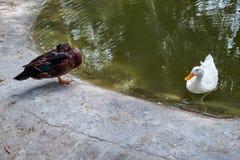 Twee eenden, dark en wit in Reina Sofia Park, Guardamar del Segura spanje Royalty-vrije Stock Afbeelding
