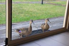 Twee eenden die buiten het venster wachten Royalty-vrije Stock Fotografie