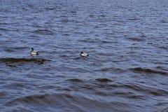 Twee eenden die in een vijver zwemmen Stock Afbeeldingen