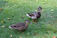 Twee eenden die op het gras in aard lopen Royalty-vrije Stock Foto's