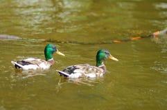 Twee eenden die op water drijven Royalty-vrije Stock Foto's