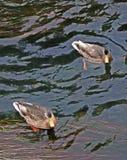 Twee eenden die in water zwemmen stock foto