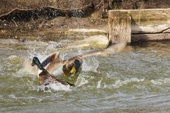 Twee eenden in een dramatische strijd stock afbeeldingen