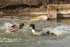 Twee eenden in een dramatische strijd stock fotografie