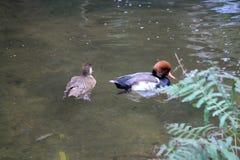 Twee eenden het zwemmen Stock Afbeelding