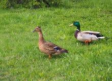 Twee eenden lopen in het groene gras in het park stock afbeeldingen
