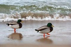 Twee eenden op de kust Royalty-vrije Stock Fotografie
