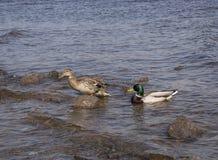 Twee eenden op de kust, bevindt zich en andere zwemt royalty-vrije stock afbeelding