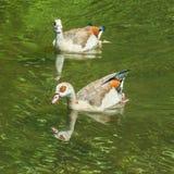 Twee eenden op het water Stock Foto's