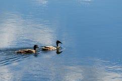 Twee eenden op water Royalty-vrije Stock Afbeelding