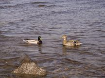 Twee eenden zwemmen in het water stock foto