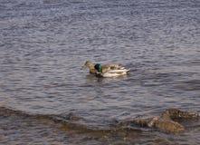 Twee eenden zwemmen in het water royalty-vrije stock afbeeldingen