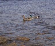 Twee eenden zwemmen in het water stock fotografie