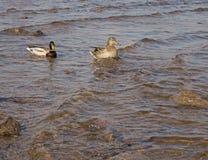 Twee eenden zwemmen in het water royalty-vrije stock fotografie