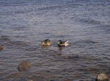 Twee eenden zwemmen in het water stock afbeelding