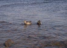 Twee eenden zwemmen in het zeewater royalty-vrije stock afbeelding