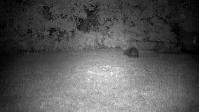 Twee egels die op huisgazon bij nacht vechten stock footage