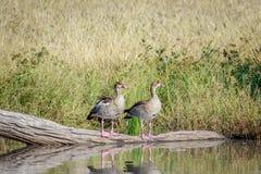 Twee Egyptische ganzen die op een tak zitten Stock Foto