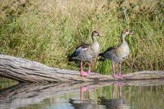 Twee Egyptische ganzen die zich op een stuk van hout bevinden Royalty-vrije Stock Foto's