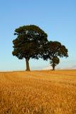 Twee eiken bomen in de herfstscène Stock Foto's