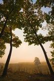 Twee eiken in de mist Royalty-vrije Stock Afbeeldingen
