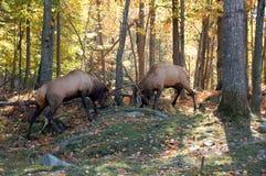 Twee elanden het vechten royalty-vrije stock afbeelding