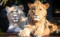 Twee elegante leeuwen Royalty-vrije Stock Fotografie