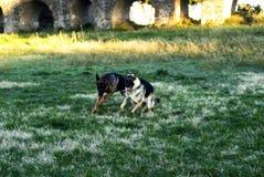 Twee Elzassische honden Royalty-vrije Stock Foto's