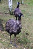 Twee emoevogels Royalty-vrije Stock Afbeelding
