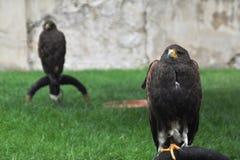 Twee en adelaars die zitten denken stock fotografie