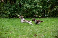 Twee Engelse Honden die van Aanzetsteenspanielen en op het gras lopen spelen Het spelen met Tennisbal Royalty-vrije Stock Foto