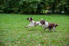 Twee Engelse Honden die van Aanzetsteenspanielen en op het gras lopen spelen Het spelen met Tennisbal Stock Foto's