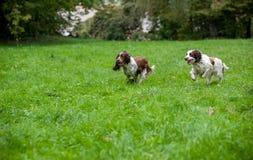 Twee Engelse Honden die van Aanzetsteenspanielen en op het gras lopen spelen Het spelen met Tennisbal Stock Foto