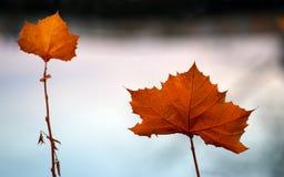 Twee esdoornbladeren Stock Fotografie