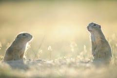 Twee Europese grondeekhoorns Stock Afbeeldingen