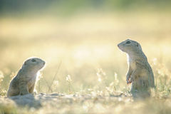 Twee Europese grondeekhoorns tegengesteld aan hen selfs stock foto's