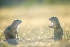 Twee Europese grondeekhoorns tegengesteld aan hen selfs Stock Afbeelding