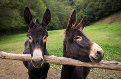 Twee ezels Stock Afbeeldingen