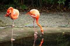 Twee flamingo drinkwater Stock Foto