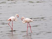 Twee flamingo's Stock Fotografie
