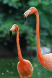 Twee flamingo's Stock Foto