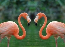 Twee flamingo's Royalty-vrije Stock Afbeeldingen