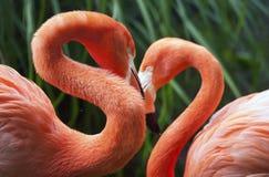 Twee flamingo's Royalty-vrije Stock Foto's