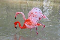 Twee flamingo's Royalty-vrije Stock Afbeelding