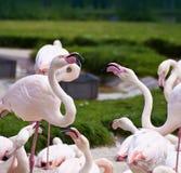 Twee flamingo'sgeschil met agressieve die stemming door andere vogels wordt omringd Royalty-vrije Stock Foto's