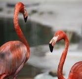 Twee flamingoes naast elkaar royalty-vrije stock afbeeldingen