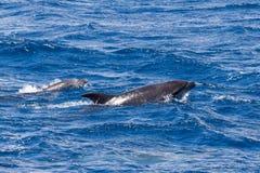 Twee fles-Besnuffelde Dolfijnen die in Oceaan dichtbij Sao Miguel, de Azoren zwemmen Royalty-vrije Stock Afbeeldingen