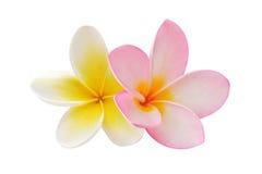 Twee frangipanibloemen Royalty-vrije Stock Afbeeldingen