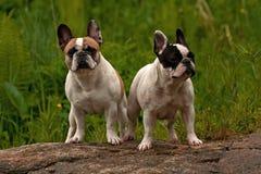 Twee Franse Buldoggen royalty-vrije stock afbeeldingen