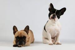 Twee Franse buldoggen zijn samen in de studio royalty-vrije stock foto